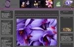 Safran Biologique Bulbes Crocus sativus linnaeus